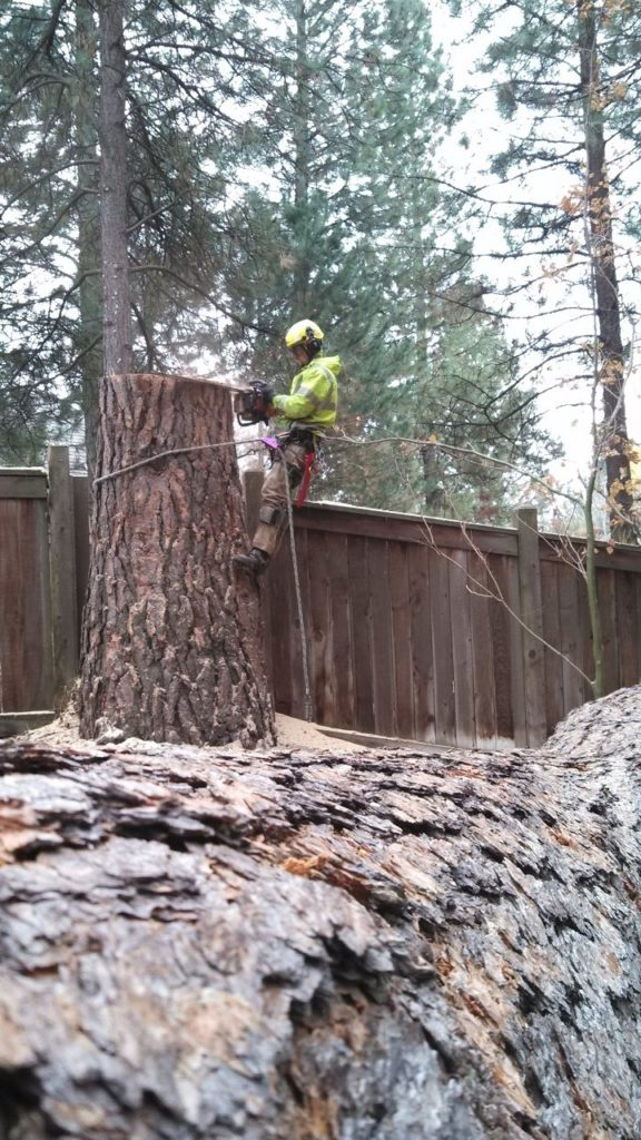 New Lynn Tree cutting